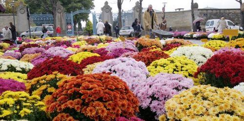 Toussaint-chrysanthème