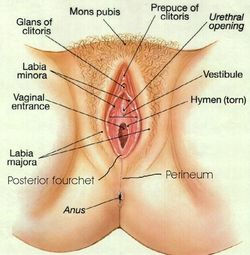 Clitoris-diagram