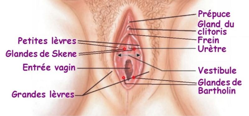 Appareil urogénital féminin