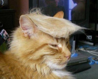 Chat Trump (énormément)